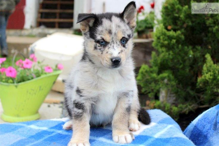 Phillip: Pomsky puppy for sale near Lancaster, Pennsylvania | e976571f-5531
