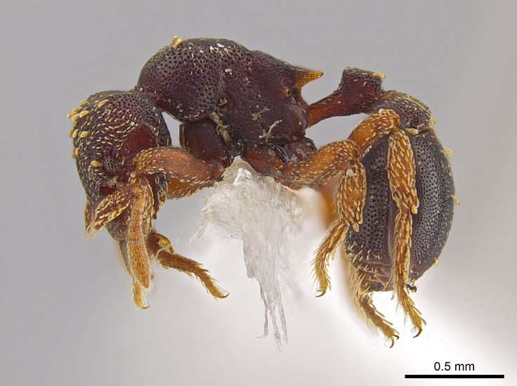 zipacna_lateral.jpg (2412×1800) A side view of the new ant species Eurhopalothrix zipacna. Mounting glue and paper appear beneath the ant, one of 33 new species discovered in Central America by Jack Longino, a biologist at the University of Utah.