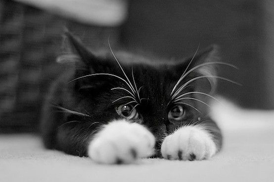 adorable kitty: Tuxedos Cat, Kitty Cat, Black And White, Cute Cat, I Love Cat, Blackcat, Cute Kittens, Black Cat, White Cat