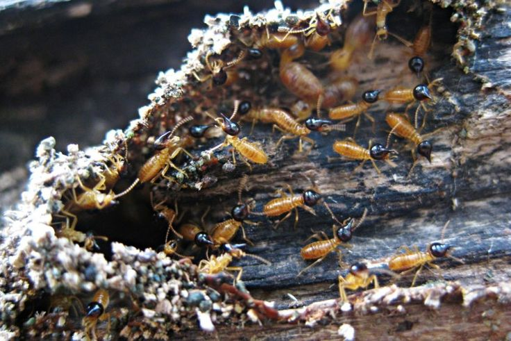 how long do termite eggs take to hatch
