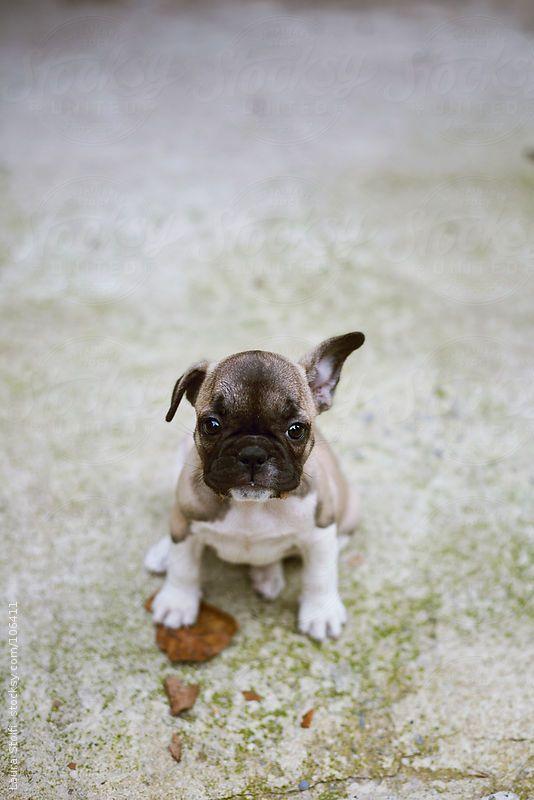 French Bulldog ph Laura Stolfi