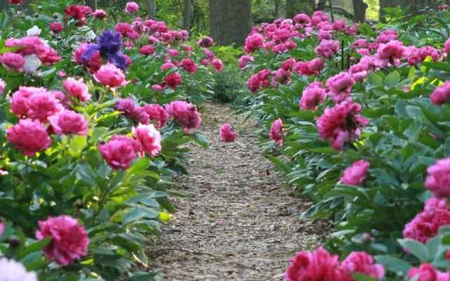 Frühling im Garten Gartenweg anlegen Päonien Pfingstrosen
