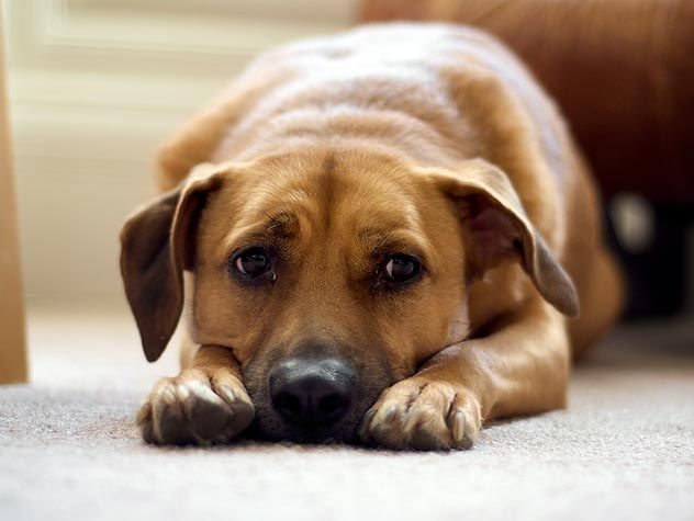 Chewing feet is typically an itchy dog thing to do, but can be a behavioral problem, as well. Find out why your dog chews her paws here.