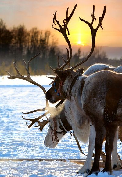 Reindeer in the winter sunset.