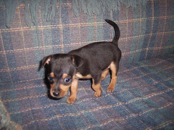 Black Miniature PinscherPinscher Dogs, Smooth Coats Dogs, Miniatures Pinscher, Min Pin, Black Miniatures, Hair Chihuahuas, Chihuahuas Dogs, Miniature Pinscher, Minature Pinscher