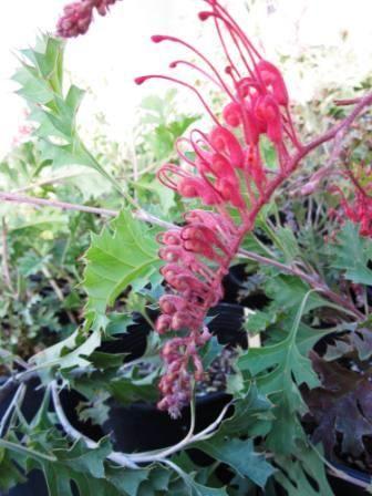 Grevillea bipinnatifida • Australian Native Plants • Plants • 800.701.6517