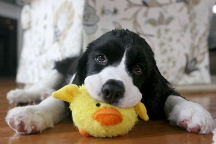 Cute Puppy with Toy - See more cute puppy pictures and dog training tips at TrainMyPuppies.com