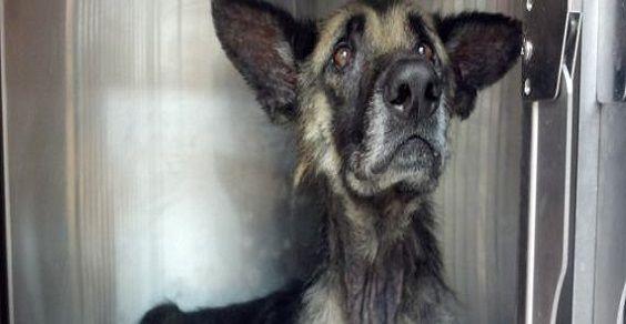 Joseph, il cane rimasto legato 4 anni a un albero (FOTO)