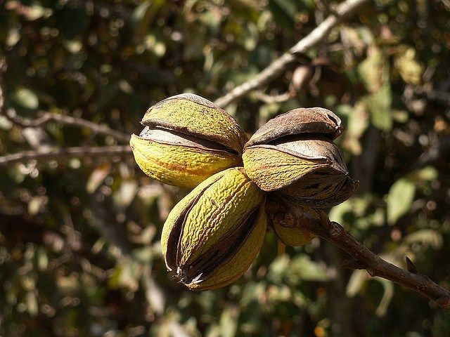 A great, low-maintenance, and decorative way to grow food in an urban or suburban environment is by planting nut trees. Nuts have a high nutritional value, are popular in many recipes, and require …