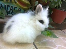El conejo angora (Ankara tavsanı).