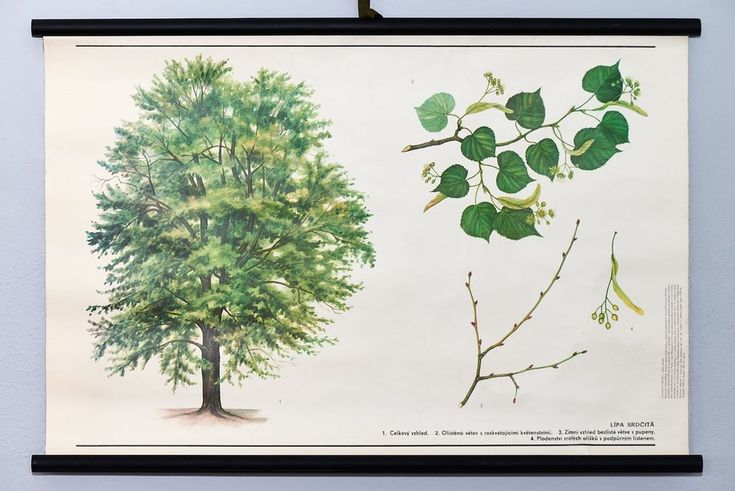Linden tree vintage school wall chart botanical original poster. Rare home decor #Vintage
