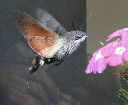 kolibrie vlinder in onze tuin