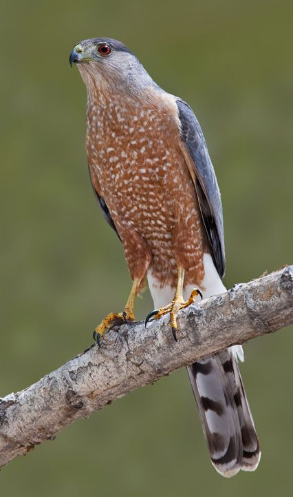 Cooper's hawk (Accipiter cooperii) ~ A crow-sized hawk (males can be smaller), blue-gray on the back & head, with horizontal orange barring on the breast & belly (mature). *Very* similar to sharp-shinned hawk. Extremely fast, agile flier through thick canopies, preys on small to medium birds & occasionally small mammals. Year-round in Arkansas.