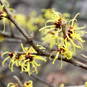 Treat a wide variety of skin ailments with witch hazel.