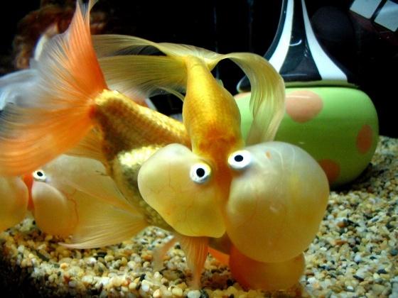 (Half deflated) bubble-eyed goldfish