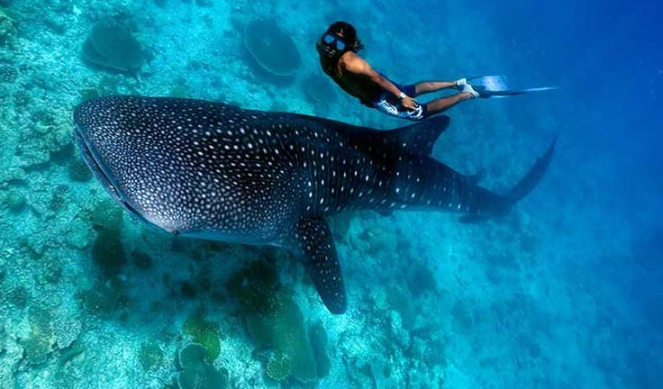 Ever Thought of Swimming with Whale Sharks in Donsol, Philippines? The Philippines can easily be called a wonderland for tourist with its varied attractions. One of its unique tourist experiences is swimming with whale sharks in Donsol situated in Luzon district. Though it sounds like a daredevil feat, it is not as dangerous as these sharks are gentle giants and harmless to humans.