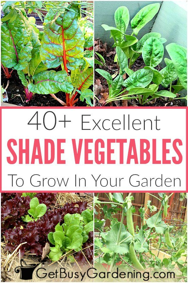 40 Vegetables That Grow In Shade Vegetable Gardening 400 x 300