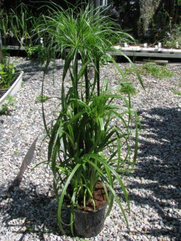 Cyperus papyrus - šáchor, papyrus