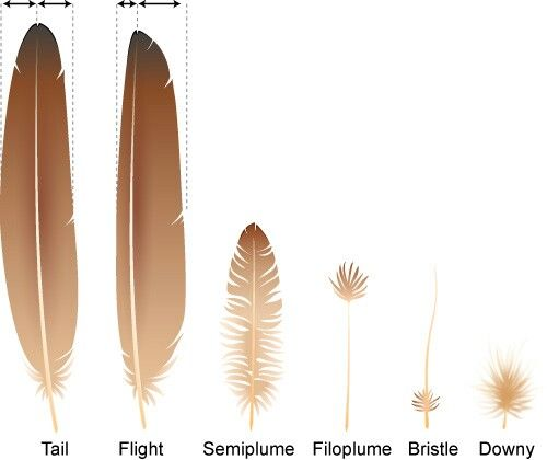 Lesson 3 -Types of feathers // Apologia Zoology 1