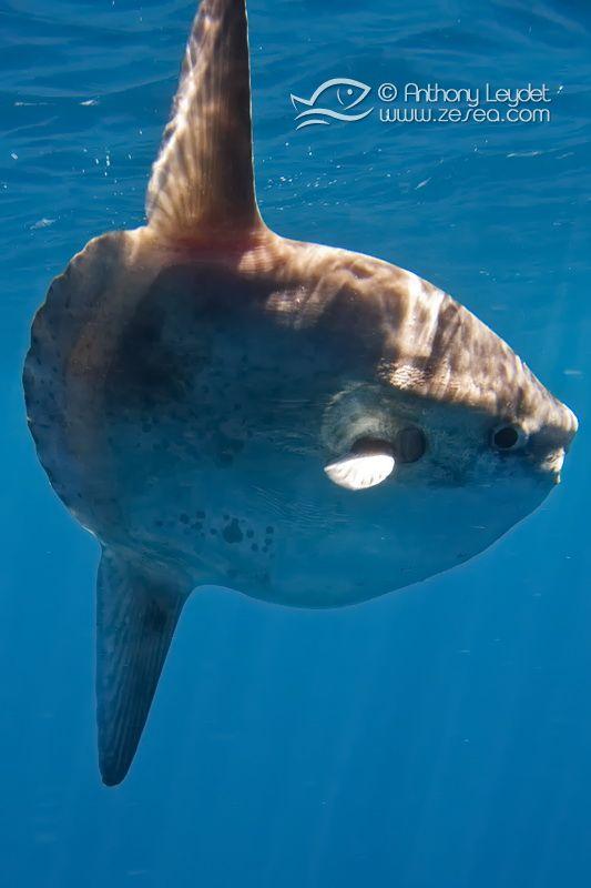Le Poisson-lune n'est t-il pas une des créatures marines les plus étranges ?