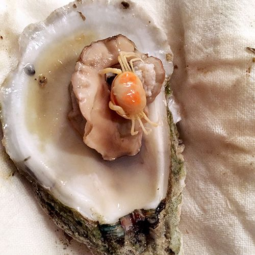 Southern Secret: The Pea Crab | Garden and Gun. Pinned by Anna Marie Winston from the novel ALL THE THINGS THAT COULDN'T BE