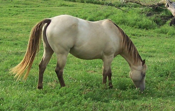 Amber Champagne Quarter Horse My Dream Farm And All