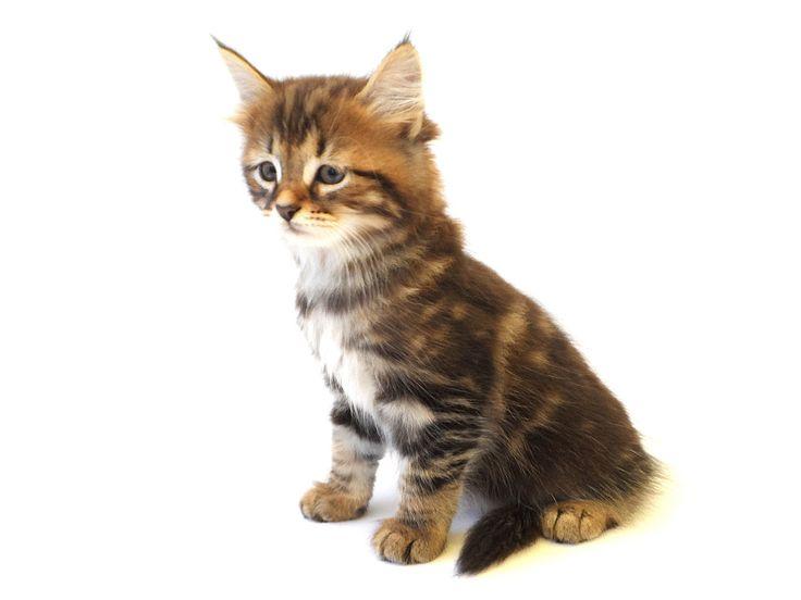 himalayan cat meow