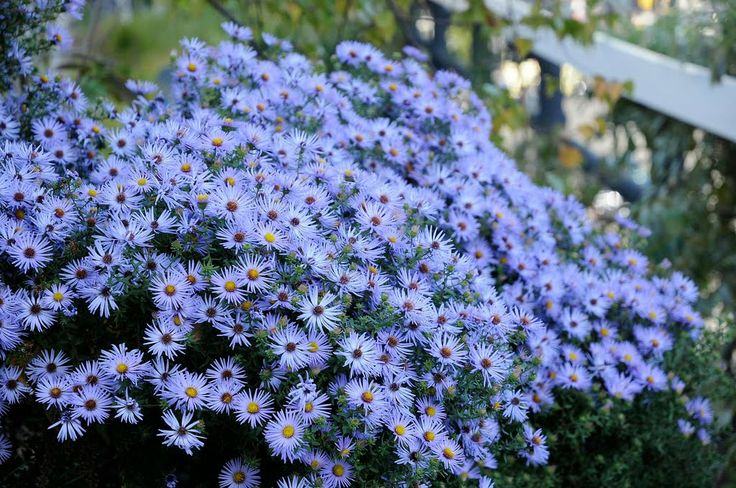 Aster Raydons Favorite - beautiful clear blue flowers in Sept. & Oct.