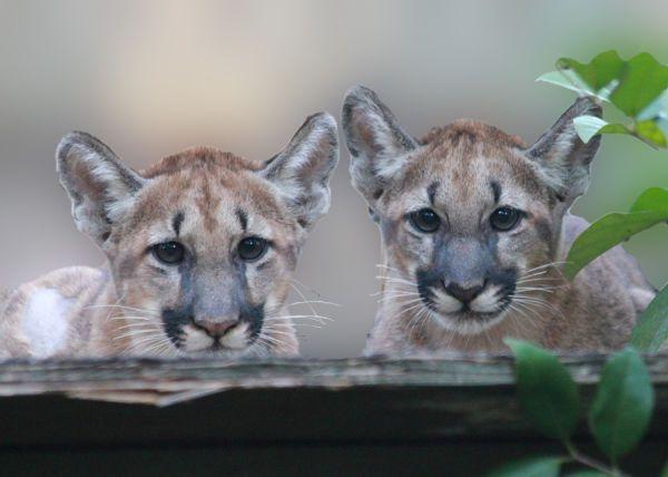 Florida_Panther_Kittens_at_White_Oak