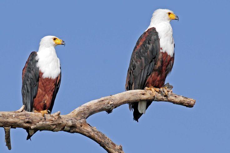 Haliaeetus vocifer - African Fish-Eagle -- Sighted: 5/28/2015 Phinda Private Game Reserve, ZA; etc.
