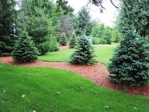 Landscaping with evergreens.: Privacy Trees, Landscaping Tre, Big Backyard, Gardens Yard, Landscape Yard Ideas, Evergreen Trees Landscape, Landscape Ideas, Christmas Trees, Evergreen Gardens