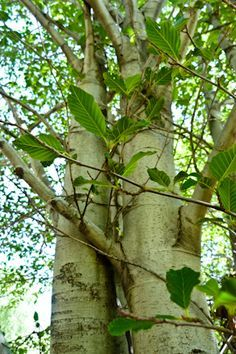 River Medicine: Alder's Transformation of Lymph, Blood and the Human Ecology…