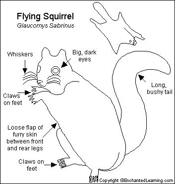 20 best images about flying squirrel on Pinterest  Flying
