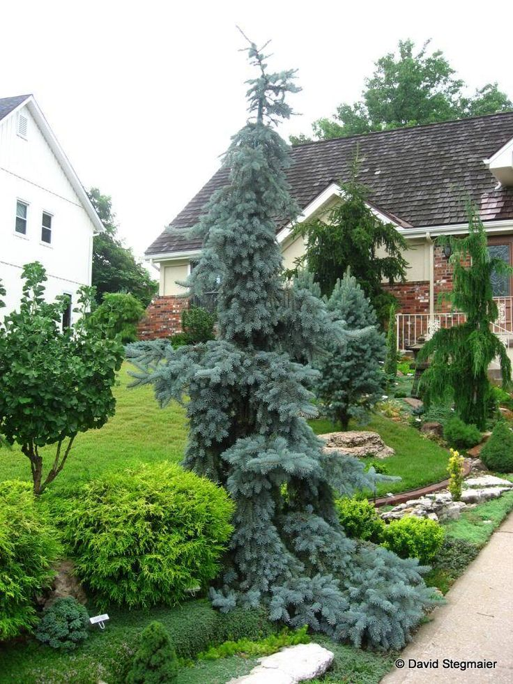 1251 best images about front yard landscaping on pinterest for Best dwarf trees for front yard