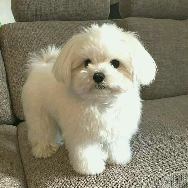 Y N As Kpop Idol In 2021 Maltese Dogs Maltese Dogs Haircuts Maltese Puppy