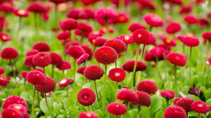 Красные цветы - Обои для рабочего стола, картинки, фоны, заставки