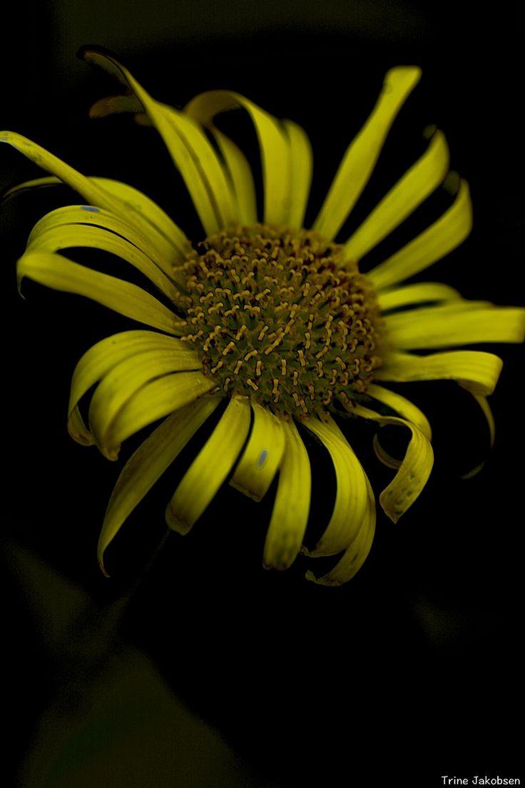 luteum flore