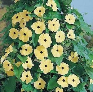 Black Eyed Susan Vine Canary Eyes Flowering Garden Seeds