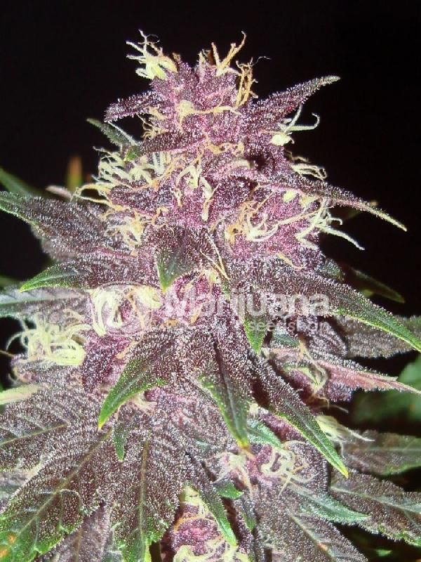 Buy Purple Kush Feminized seeds online at the Marijuana Seedshop. Yield up to 550 grams a square meter! Purple Kush Feminized marijuana seeds are 100% Indica and 0% Sativa. Purple Kush Feminized buds will have eventually 18% THC and 0.52% CBD. these Purple Kush Feminized seeds has a flowering time of 9 weeks. Regalar Experiencias!