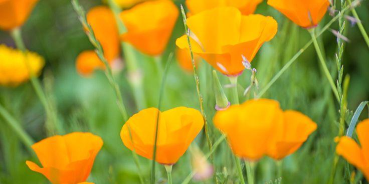 Kalifornischer Mohn – Überlebenskünstler mit Heilwirkung