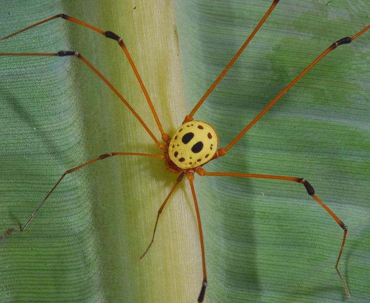 """Jason mask"" harvestman (Simambea sp.; family Cosmetidae), found in Ecuador. Despite the similarity with the character of a horror movie, it is not poisonous.    Photo: Arthur Anker"