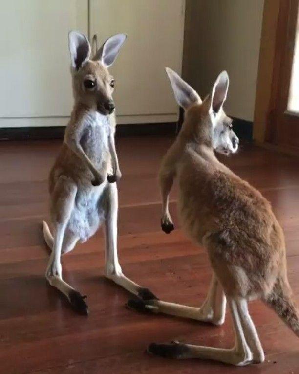 Reposting from the kangaroo sanctuary .so cute 😍😍😍enjoy #australianwildlife #australia #kangaroo #wildlife