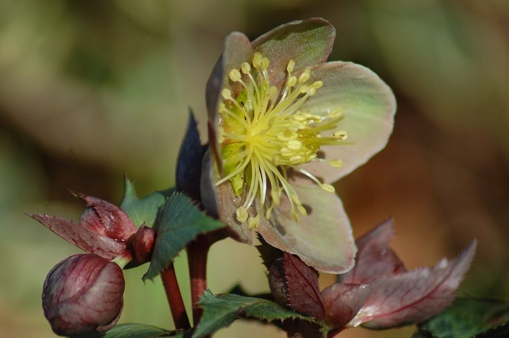 muddy green coloured hellebore