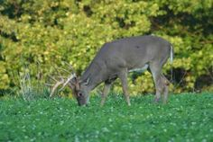 Food Plot Plan for Fall Deer Hunting Season Includes Brassicas, Turnips, Oats and Peas on http://www.deeranddeerhunting.com