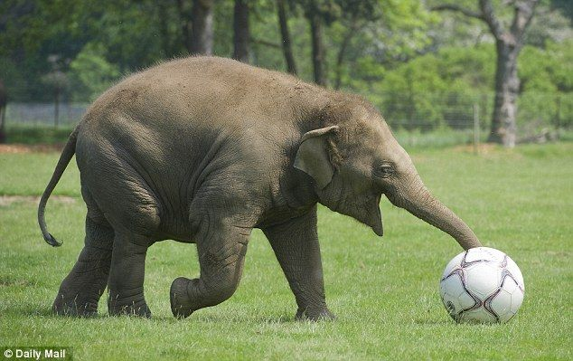 Keep the ball: Donna uses her trunk to ensure she maintains control of her football!