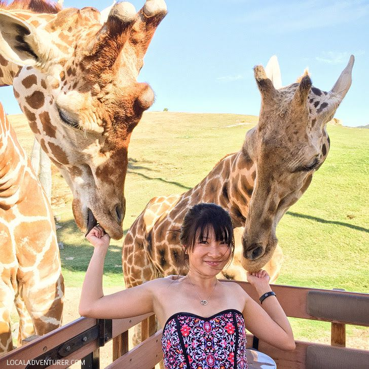 Feeding Giraffes at the San Diego Zoo Safari Park.