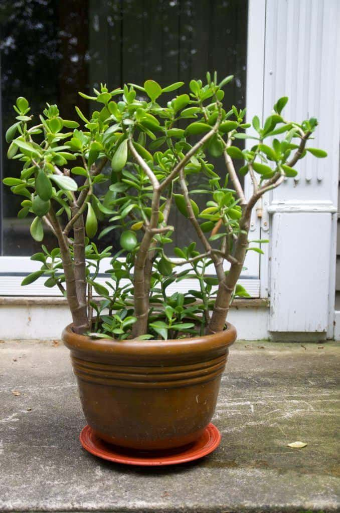 How To Prune A Jade To Get A Big Bushy Plant With Photos Jade Plant Pruning Plants Big Indoor Plants