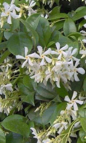 Trachelospermum jasminoides, in het Nederlands vaak Italiaanse of Toscaanse jasmijn genaamd, is een groenblijvende klimplant met een hoog opgaande, kronkelend klimmende habitus. De bladeren zijn donkergroen, ovaal tot lancetvormige, glanzend en kleuren in de winter soms mooi dieprood. Deze sterjasmijn bloeit van juni tot september met rijkelijk veel sterk geurende, stervormige witte bloempjes in hangende trossen. Trachelospermum jasminoides verlangt een beschutte standplaats in volle zon met…