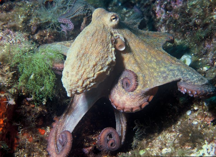 The common octopus (Octopus vulgaris) is the most studied of all octopus species. Its range in the eastern Atlantic extends from the Mediterranean Sea and the southern coast of England to at least Senegal in Africa.
