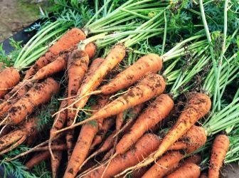 (+1) тема - Посадка и выращивание моркови | 6 соток